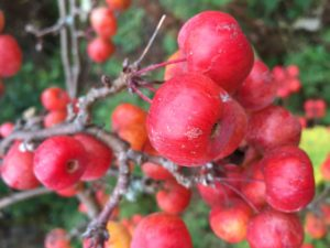 Dwarf crab apple fruit